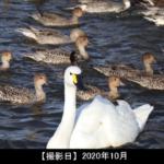 白鳥と鴨の写真
