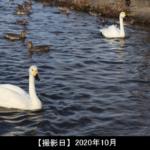 瓢湖水きん公園(白鳥)の写真