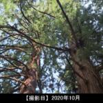 虚空蔵山 杉の写真