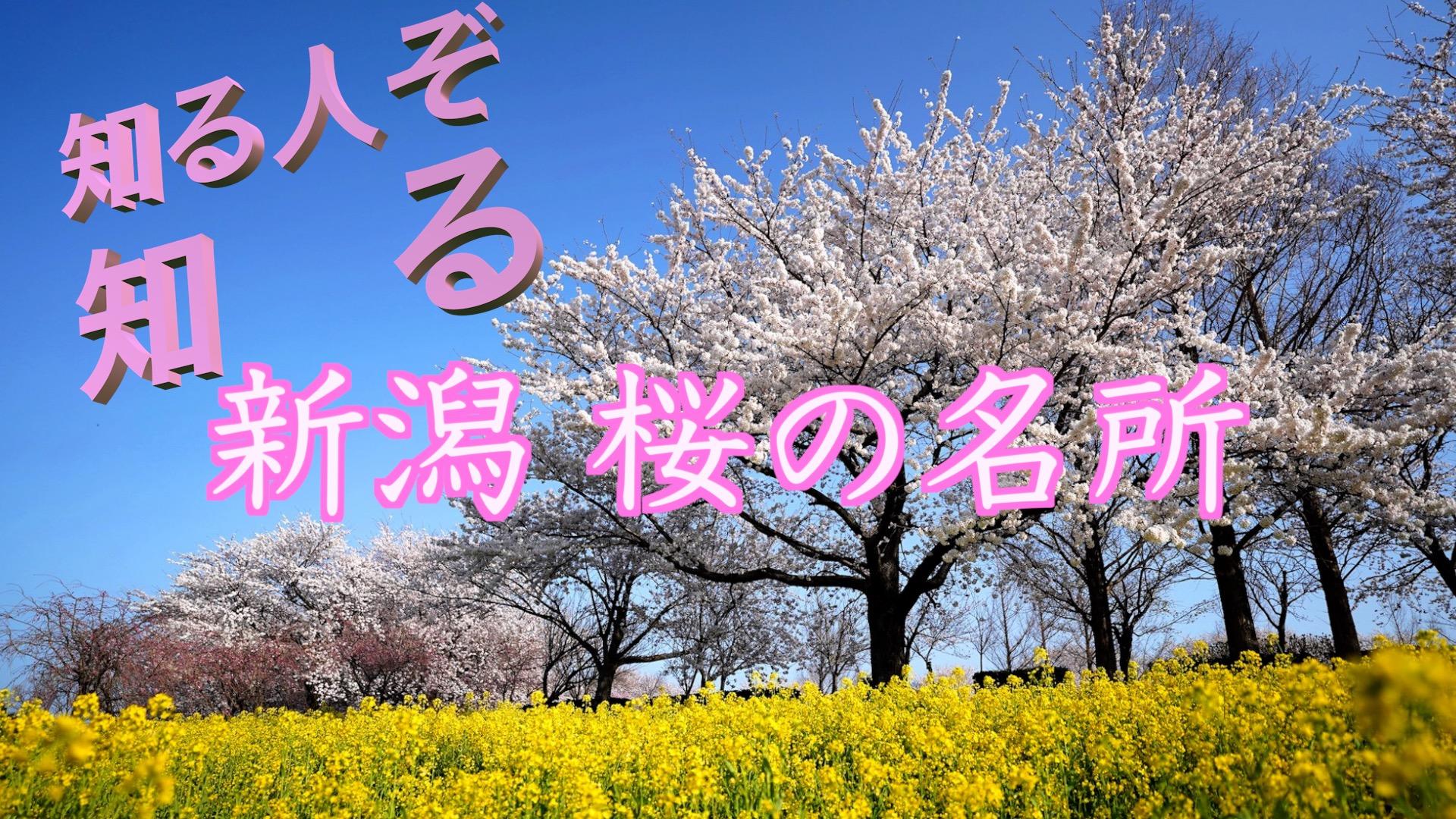 新潟 桜の名所のアイキャッチ