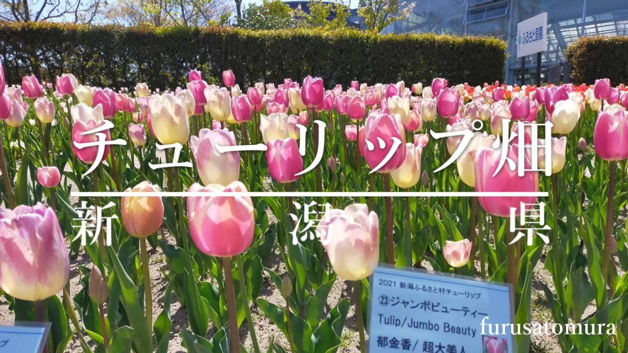 チューリップ畑(新潟県)のアイキャッチ画像